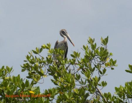 bardintzeff-sam_9110-las_penitas-pelican-s