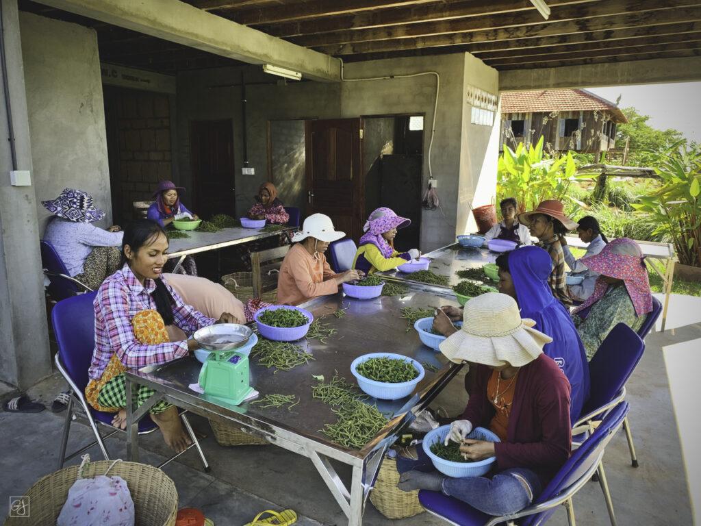 Le tri des baies est effectuée à la main par les femmes des villages proches de la plantation.