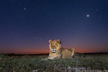 lion_etoiles