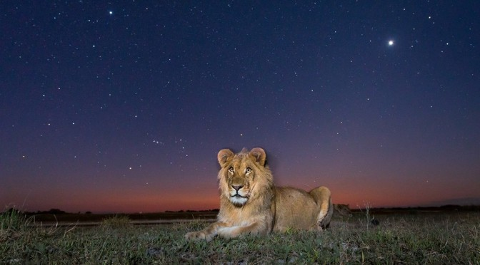 Orion et le lion en Zambie
