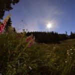 Au clair de Lune poussent des digitales