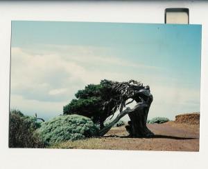 Sabine d'El Hierro, un des symboles de l'île. Photographie de 1991.