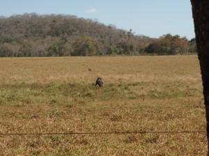 A côté de grands champs de sorgho et des pâturages où paissent des millions de zébus, il reste de la brousse où picorent les grands nandous, l'autruche sud-américaine.