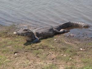 Le caïman jacaré, l'emblème du Pantanal où il est partout chez lui. A. Gioda, IRD.