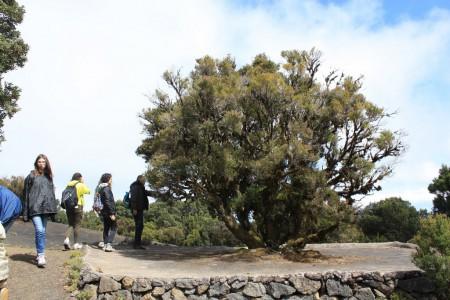 30/04/2016. Un arbre fontaine sur la crête du Mirador de Llania (1200 m). El Hierro. Cliché : M. Tapiau, IRD.