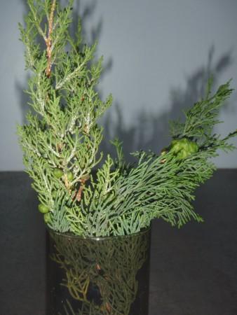 A gauche, rameau de genévrier de Phénicie avec sespetites baies et à droite cyprès de Provence. Si le feuillage en écailles est très proche, le cône du cyprès est facile à distinguer. Cliché : A. Gioda, IRD.CAMERA