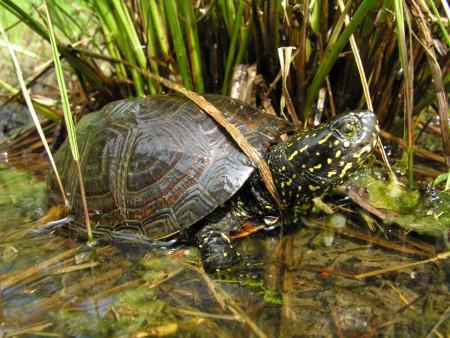 Cistude d'Europe (Emys orbicularis). C'est une petite tortue de la taille d'un galet à longue queue. ©Conservatoire (CEN Savoie).