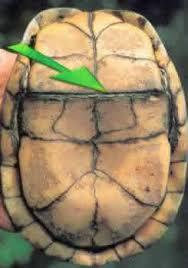 Terrapene carolina, la plus connue des petites tortues-boîtes des zones humides nord-américaines dont le Mexique.Le plastron est divisé en deux parties réunies par une articulation. En cas de danger, une fois la tête et les pattes à l'abri sous la carapace, les deux moitiés du plastron se collent contre le bouclier dorsal. Source : L'univers des tortues.